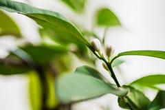 Nahaufnahme von Miniaturzitronenbaumblumenknospen stockfotografie