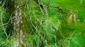 Nahaufnahme von Nadeln von einem Baum Lizenzfreie Stockfotos