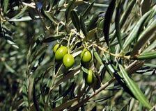 Nahaufnahme von Oliven, Olivenöl, Andalusien, Spanien Stockfotos