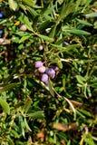 Nahaufnahme von Oliven, Olivenöl, Andalusien, Spanien Stockbild