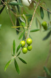 Nahaufnahme von Oliven, Olivenöl, Andalusien, Spanien Lizenzfreie Stockfotos