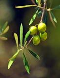 Nahaufnahme von Oliven, Olivenöl, Andalusien, Spanien Lizenzfreie Stockbilder