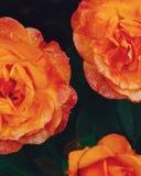 Nahaufnahme von orange Rosen mit Regentropfen auf unscharfem dunklem brackground lizenzfreie stockfotografie