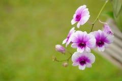 Nahaufnahme von Orchideenblumen und -GRÜN verlässt Hintergrund Stockfotografie