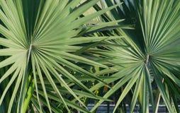 Nahaufnahme von Paaren des Palmettoblattes extrahieren Beschaffenheitsmusterhintergrund Stockfotos