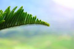 Nahaufnahme von Pinegenus-Pinus, des Familie Pinaceae lizenzfreies stockfoto