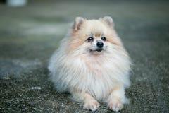 Nahaufnahme von Pomeranian lizenzfreies stockfoto