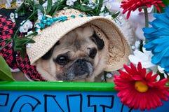 Nahaufnahme von Pug in der Pug-Parade Stockbild