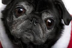 Nahaufnahme von Pug im Sankt-Mantel lizenzfreies stockbild