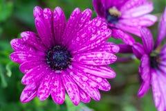 Nahaufnahme von purpurrotem Osteospermum oder afrikanisches Gänseblümchen, Blumen nach Regen stockfotos