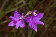 Nahaufnahme von purpurroten Blumen der Grasrosaorchidee, New Hampshire Lizenzfreies Stockfoto
