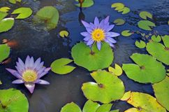 Nahaufnahme von purpurroten und gelben Seerosen lizenzfreie stockfotografie