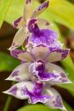 Nahaufnahme von purpurroten Zygo-Orchideen, selektiver Fokus stockfotos