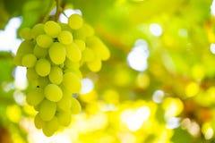 Nahaufnahme von reifem Bunche von Weißwein-Trauben auf Rebe Stockfotos