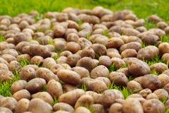 Nahaufnahme von reifen Kartoffeln auf dem Gras Stockfotos