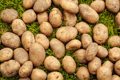 Nahaufnahme von reifen Kartoffeln auf dem Gras Lizenzfreie Stockfotos