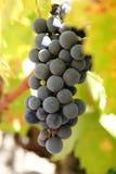Nahaufnahme von reifen Weinreben Stockbilder