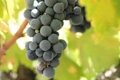 Nahaufnahme von reifen Weinreben Stockfoto