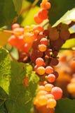 Nahaufnahme von reifen Weinreben Stockbild