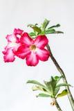 Nahaufnahme von rosa Bigononia oder von Wüstenrose (tropische Blume) Lizenzfreie Stockfotografie