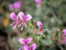 Nahaufnahme von rosa Blumen mit Grün verlässt im Schmetterlingsgarten in Santa Barbara Kalifornien Makrolinse mit bokeh für Netzf Lizenzfreie Stockfotografie