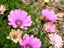 Nahaufnahme von rosa Blumen mit Grün verlässt im Schmetterlingsgarten in Santa Barbara Kalifornien Makrolinse mit bokeh für Netzf Stockfotos