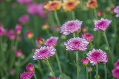 Nahaufnahme von rosa Blumen mit Weichzeichnung im Sonnenlicht Stockbild