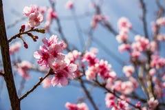 Nahaufnahme von rosa Kirschblüten Stockfoto