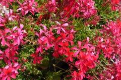 Nahaufnahme von rosa Lachsblumen der Efeu-leaved Pelargonie stockfoto