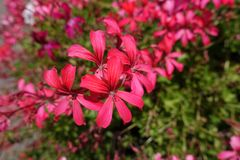 Nahaufnahme von rosa Lachsblumen der Efeu-leaved Pelargonie stockbild
