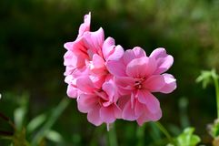 Nahaufnahme von rosa Pelargonie Peltatums-Blumen, Pelargonien, Storksbills, Makro stockfotos