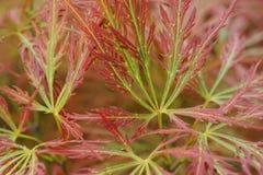 Nahaufnahme von rot-grünen Blättern des Zwergahorn Acer-japonicum I Lizenzfreies Stockbild
