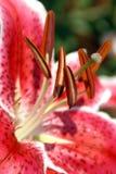 Nahaufnahme von Rot-weißer Lily Flower Stockfotografie