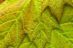 Nahaufnahme von Rotahorn-Blättern, Acer-Rubrum Lizenzfreie Stockfotos