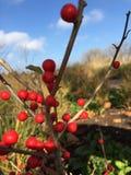 Nahaufnahme von roten Beeren auf Niederlassung stockfotos