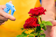 Nahaufnahme von roten Rosen mit Wassertropfen und der Hand Lizenzfreie Stockbilder