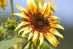 Nahaufnahme von sanflower und von Knospe Stockfotografie
