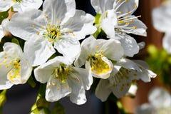 Nahaufnahme von schönen Kirschblüten lizenzfreie stockfotos