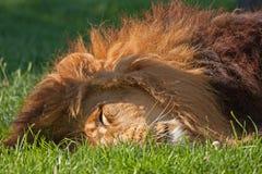 Nahaufnahme von schlafendem Löwen Stockbilder