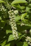 Nahaufnahme von Schmetterlings-Bush-Blüte lizenzfreie stockfotografie