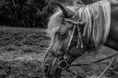 Nahaufnahme von Schwarzweiss-Pferdeköpfen stockfotos