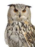 Nahaufnahme von sibirischen Eagle Owl - Bubo Bubo Stockfoto