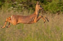 Nahaufnahme von springenden Rehen (Capreolus Capreolus) Lizenzfreies Stockfoto