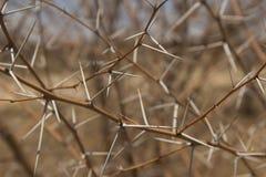 Nahaufnahme von stacheligen Akaziendornen ohne Laub lizenzfreie stockfotografie