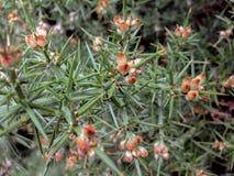 Nahaufnahme von stacheligen Blumen in Neuseeland lizenzfreie stockbilder
