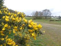 Nahaufnahme von Stechginsterbetriebsblumen mit einem unscharfen Hintergrund, Chorleywood-Common stockfotografie