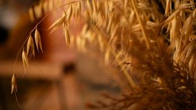 Nahaufnahme von Stilllebenohren für Hintergrund Blumenstrauß von den trockenen Goldspitzen von Getreide stock video
