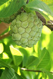 Nahaufnahme von Sugar Apple oder Annone tragen Früchte Lizenzfreies Stockfoto