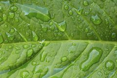 Nahaufnahme von Tautropfen auf einem vibrierenden grünen Blatt Stockfotografie