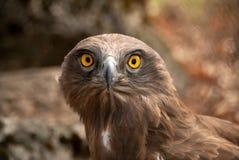 Nahaufnahme von toed Adler Stockbilder